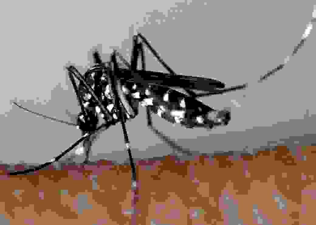 Moustique tigre prévention des maladies vectorielle