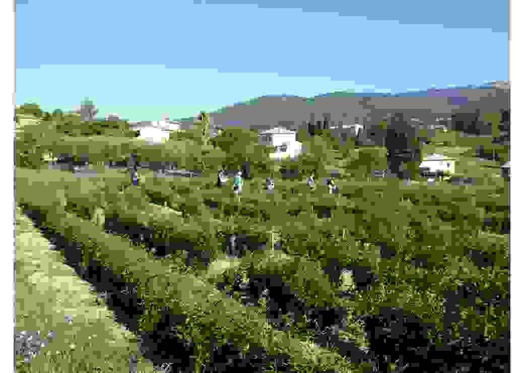 Grasse modifie son PLU pour produire roses et jasmin