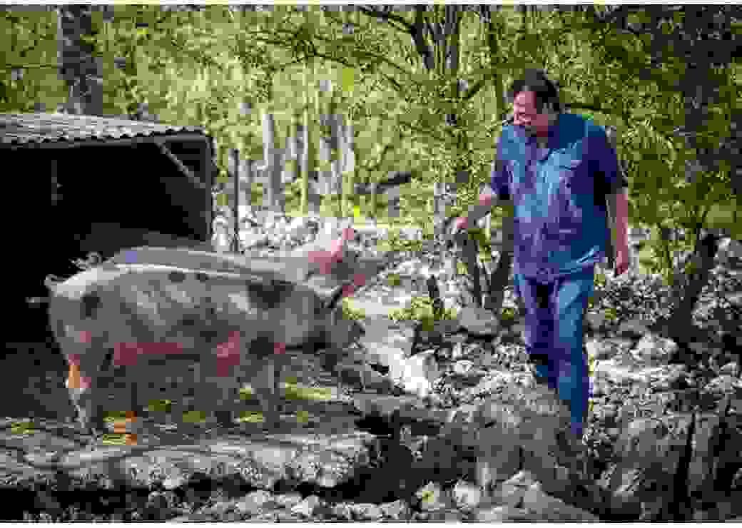 Dans un paysage de sous-bois, un homme tend une brindille à deux cochons