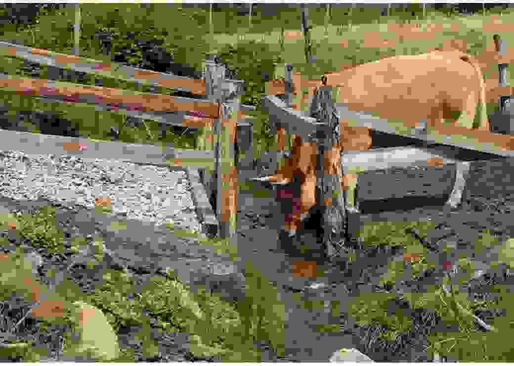 Dans un champs, un bovin boit à un cours d'eau protégé par des barrières de bois