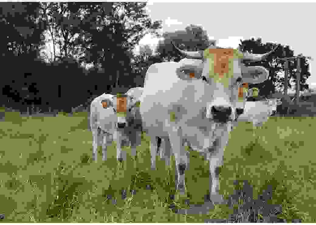 Dans un pré, trois vaches de couleur blanche regardent la personne qui prend la photo