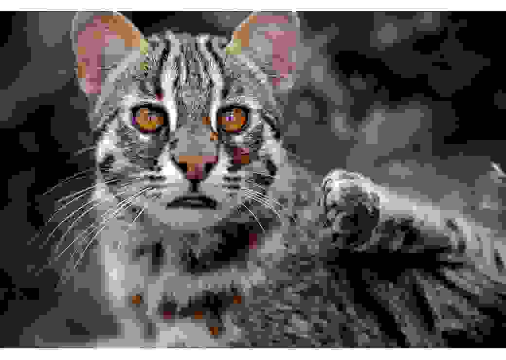 Chat léopard de Sibérie © EcoZonia