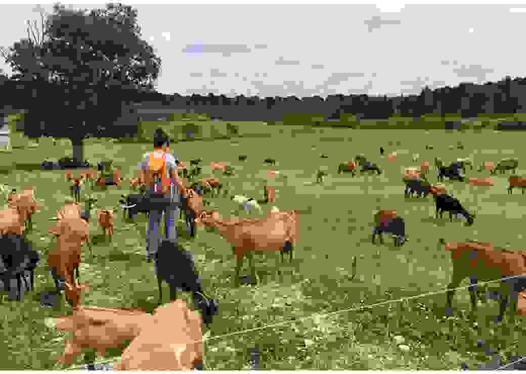 Dans un champ, une jeune femme de dos, qui porte un sac à dos orange, tend la main à une chèvre, au milieu d'une cinquantaine de chèvres