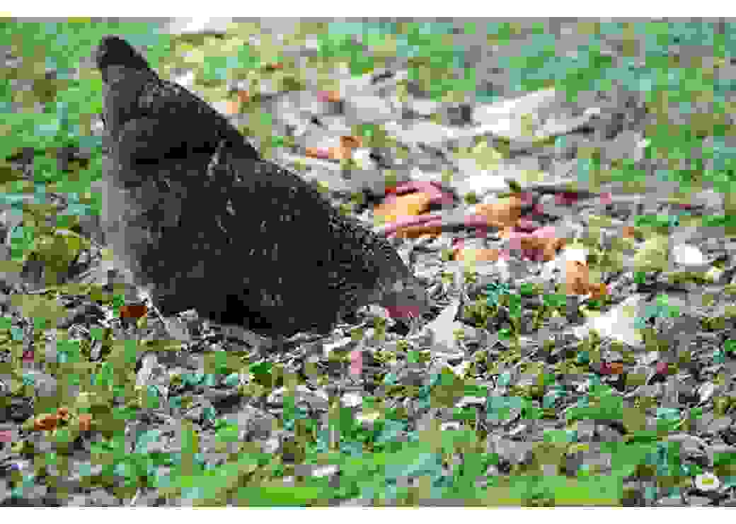 Poule composteuse