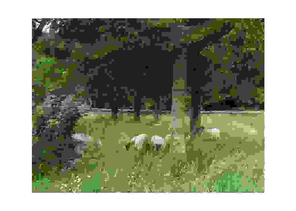 Des moutons dans un pâturage urbain